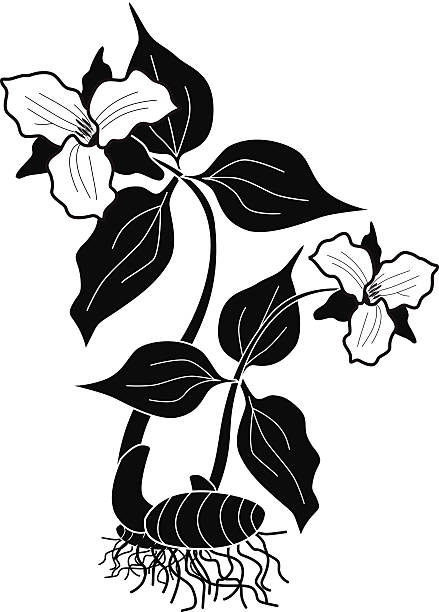 vector illustration of trillium woodland flower in black and white A vector illustration of a trillium woodland flower in black and white. An EPS file and a large jpg are included in this download. trillium stock illustrations