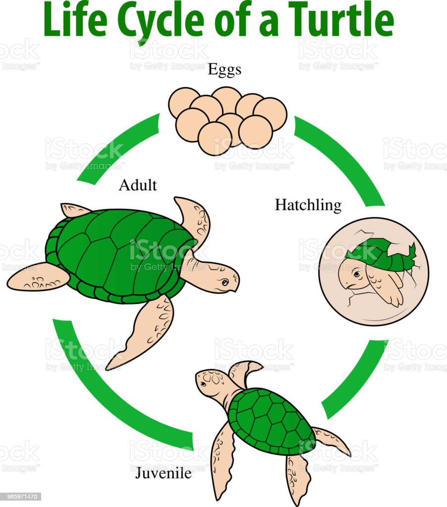 Vector Illustration Of Turtle Life Cycle Stock Illustration Download Image Now Istock