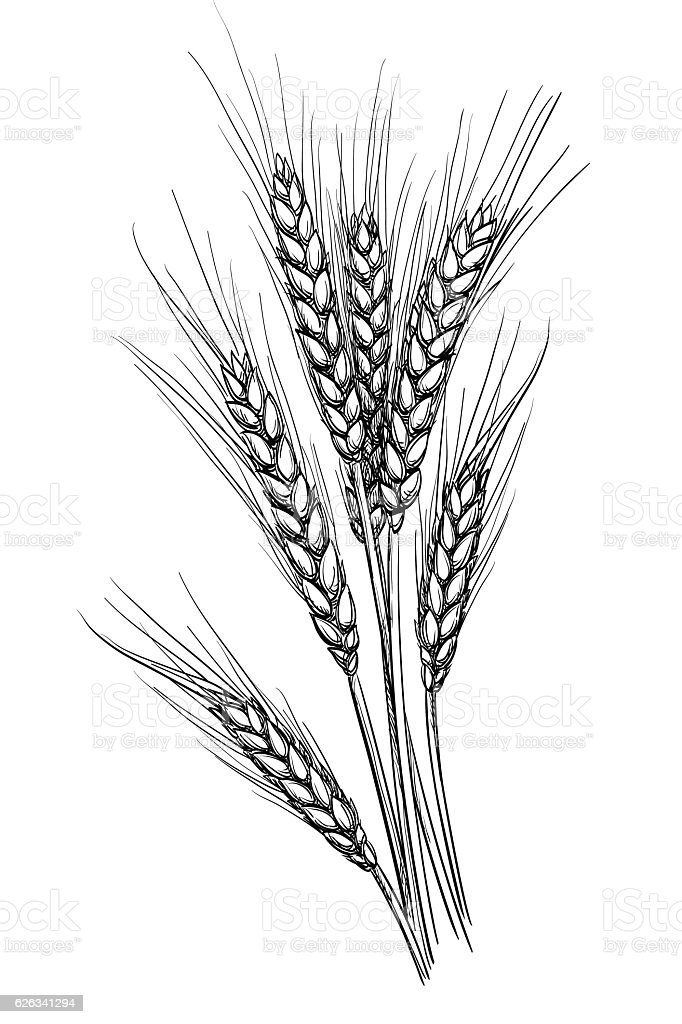Vector illustration of wheat. vector art illustration