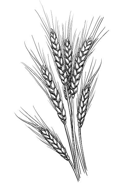 Vector illustration of wheat. Hand drawn vector illustration of wheat. Isolated on white background. Retro style. wheat stock illustrations