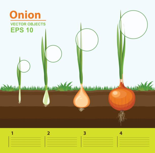 Vector illustration. Phases of growth of a onion in the garden. Growth, development and productivity of onion. Growth stage. Distance between plants. Infographic concept Vector illustration. Phases of growth of a onion in the garden. Growth, development and productivity of onion. Growth stage. Distance between plants. Infographic concept scallion stock illustrations