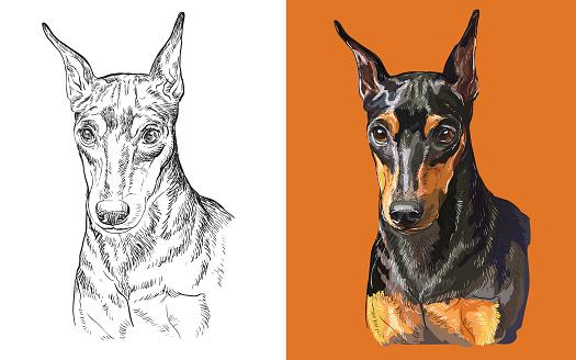 Vector illustration portrait of cute funny dog Miniature Pinscher