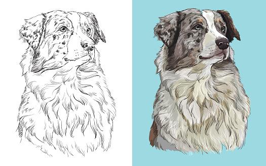 Vector illustration portrait of dog Australian shepherd
