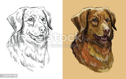 istock Vector illustration portrait of dog Nova Scotia Duck Tolling Retriever 1303481498