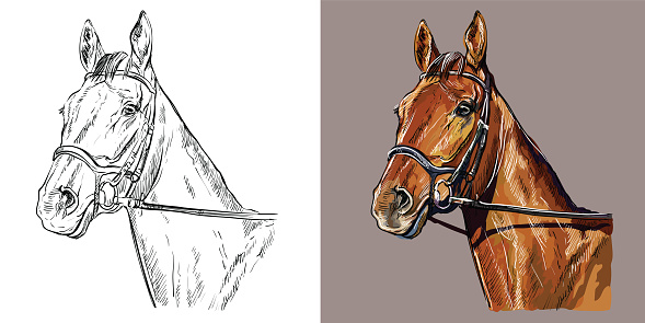 Realistic head of horse in the bridle. Vector black and white and colorful isolated illustration of horse. For decoration, coloring book, design, prints, posters, postcards, stickers, tattoo, t-shirt