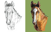 Realistic head of young bay foal. Vector black and white and colorful isolated illustration of horse. For decoration, coloring book, design, prints, posters, postcards, stickers, tattoo, t-shirt, goods, souvenirs