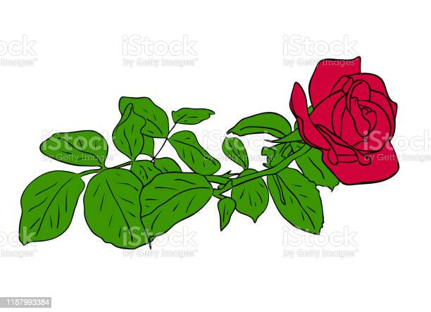 Vector illustration red rose flower with green leafs isolated on vector id1157993384?b=1&k=6&m=1157993384&s=612x612&h=if0pgxds6yyqz40dzgdvbjhpgvfx03z4fqpfd xyjb8=