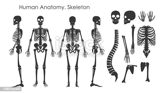 Vector illustration set of human bones skeleton in silhouette style isolated on white background. Human anatomy concept, skeleton in different positions