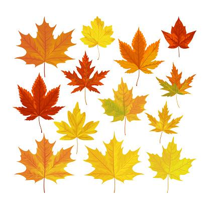 Vector illustration, set of realistic autumn leaves.