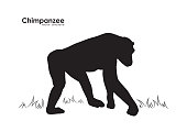 Vector illustration: Silhouette of Monkey Chimpanzee on white background.