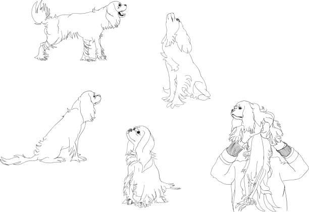 vektor-illustration. skizzen von cavalier king charles spaniel in verschiedenen posen. - reiter stock-grafiken, -clipart, -cartoons und -symbole