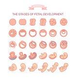 vector illustration stages of fetal development.