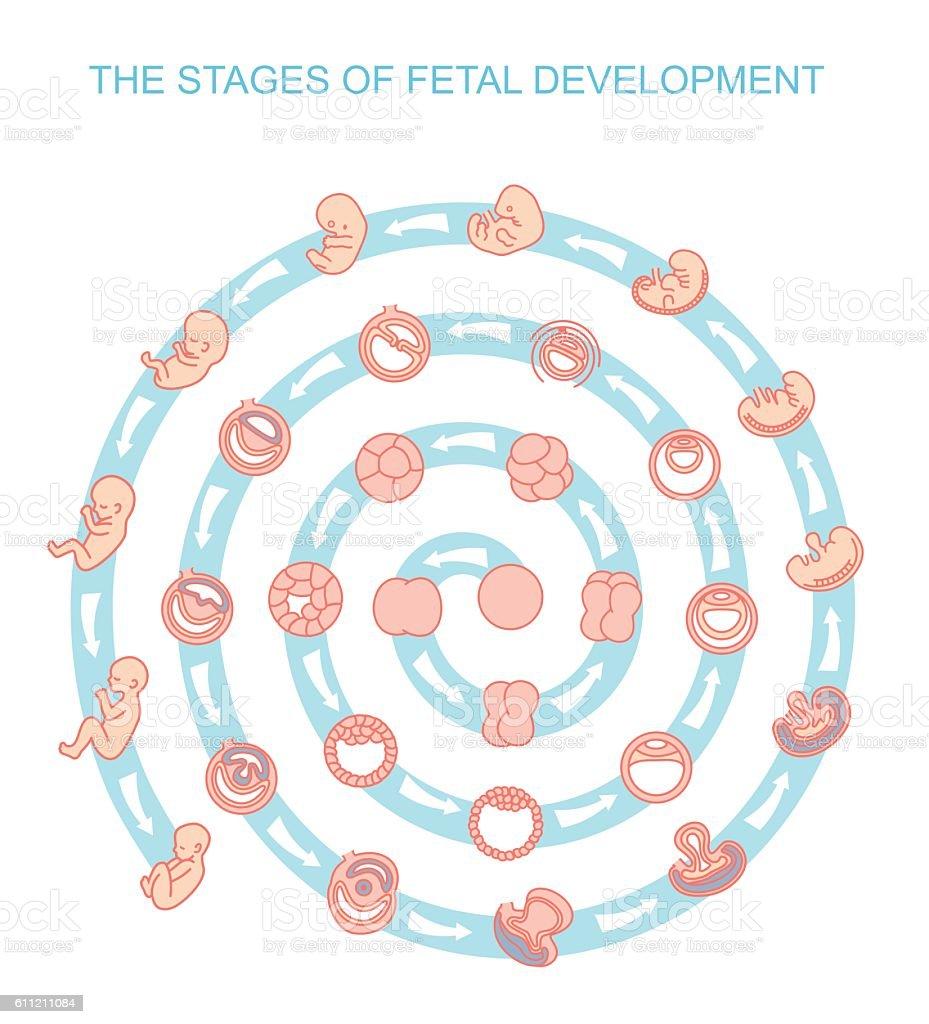 Vector Illustration Stages Of Fetal Development Stock ...