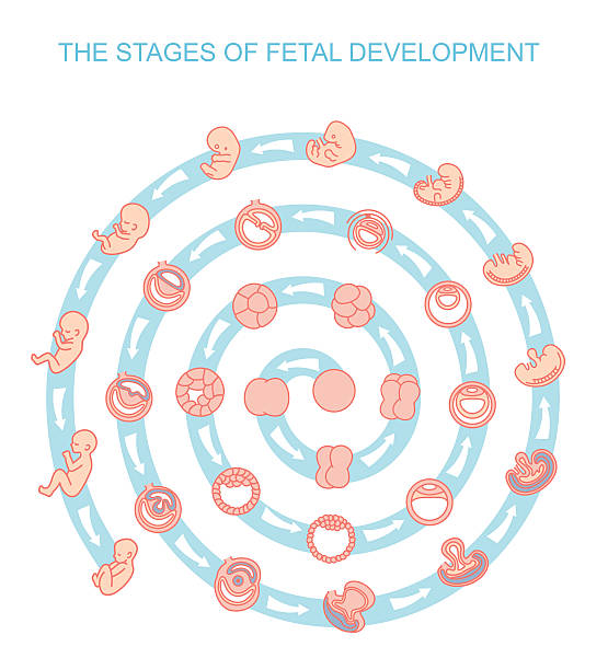 vector illustration stages of fetal development vector illustration stages of fetal development. isolated on white background. Pregnancy. Fetal growth from fertilization to birth, fetus development. Embryo development. human blastocyst stock illustrations