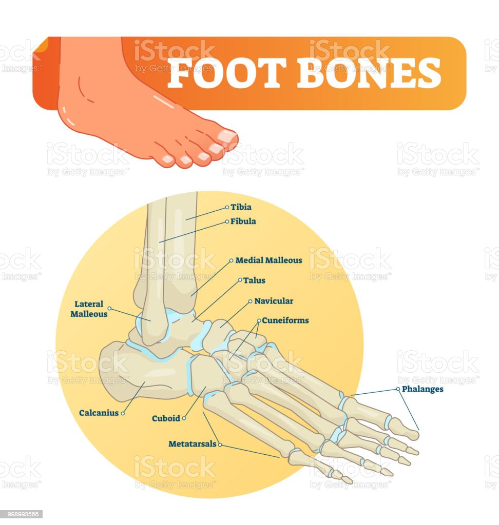 Vector Illustration With Foot Bones Medical Diagram With Tibia ...