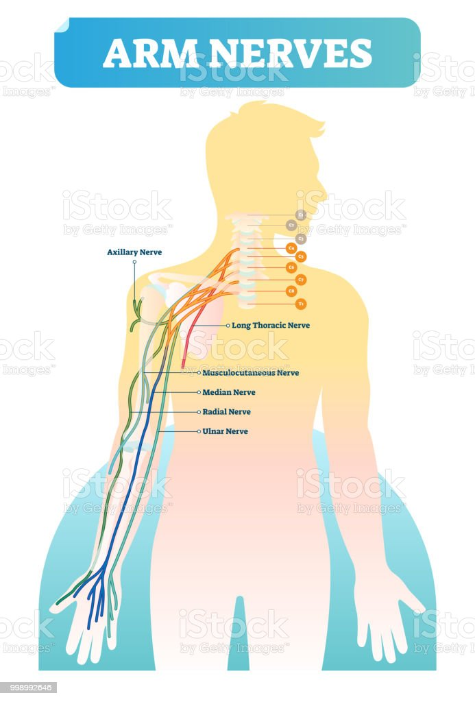 Vector Illustration With Human Arm Nerves Anatomical Scheme With ...