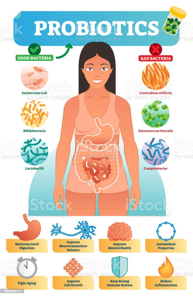 Vector illustration with probiotics. Medical educational scheme and labeled diagram with escherichia, bifidobacteria, lactobacilli, clostridium and campylobacter. vector art illustration