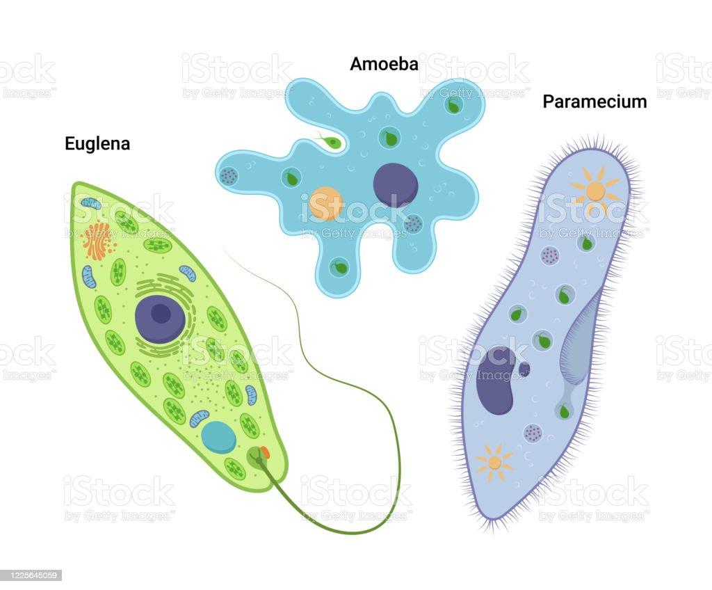 Protozoa amoebe. Megrendelem Shell amőba: leírás, szerkezet, jelentés, érdekes tények