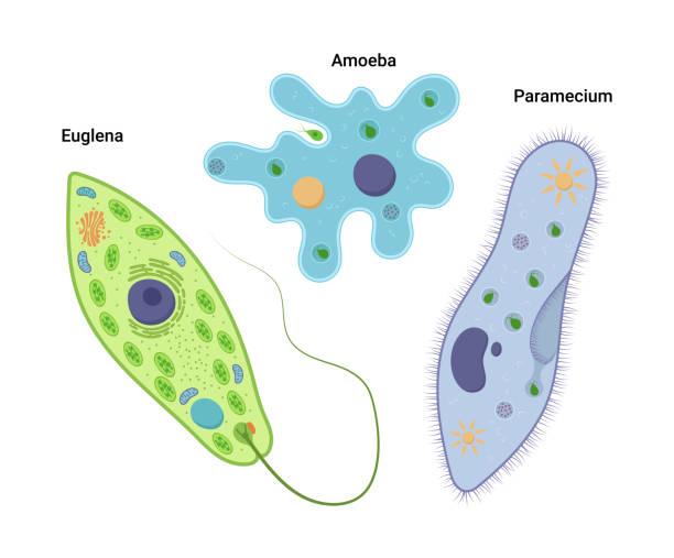 ilustrações de stock, clip art, desenhos animados e ícones de vector illustrationof unicellular organisms. amoeba proteus paramecium caudatum and euglena viridis. protozoa - amiba
