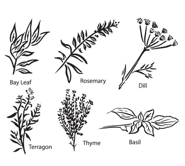 Vector Illustrations of Various Spices or Herbs Group of six herbs or spices. Hand painted black and white art work. Check out my portfolio for more. thyme stock illustrations