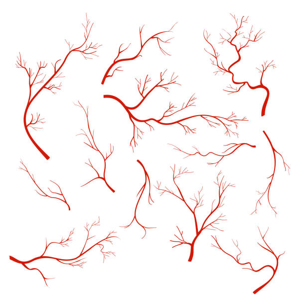 Vector illustrations set of veins and vessel, red capillaries, blood arteries isolated on white background. vector art illustration
