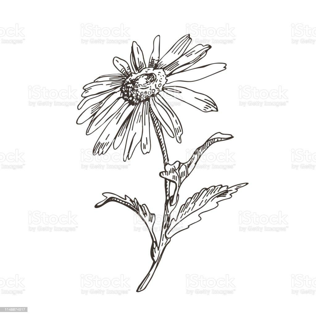Image Vectorielle De Fleur De Marguerite Dessin De Style Desquisse Vecteurs Libres De Droits Et Plus D Images Vectorielles De Arbre En Fleurs Istock