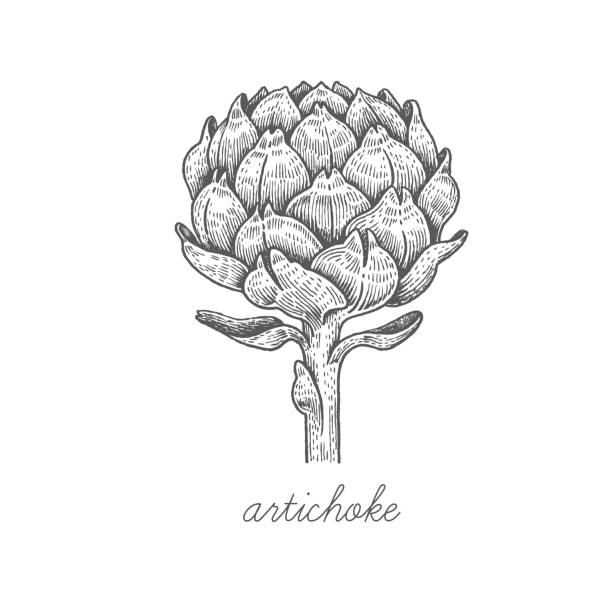 Vector image of medical plants. Artichoke. Vector plant isolated on white background. The concept of graphic image of medical plants/herbs/flowers/fruits/roots. Designed to create package of health and beauty natural products. artichoke stock illustrations