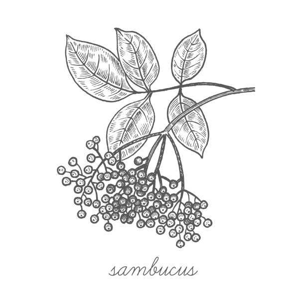 vektor-bild von heilpflanzen. - holunderstrauch stock-grafiken, -clipart, -cartoons und -symbole