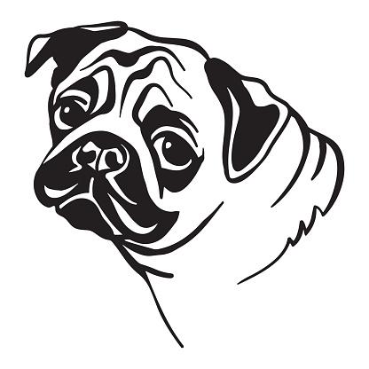 Vector image of pug dog on white background