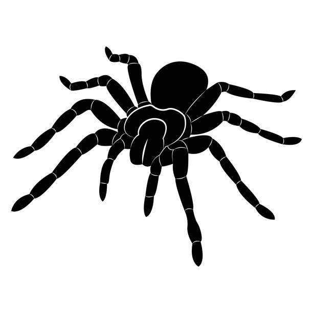 vector image of spider silhouette - tarantula stock illustrations