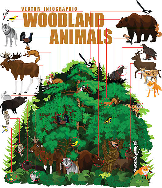 bildbanksillustrationer, clip art samt tecknat material och ikoner med vector infographic - north woodland forest with animals - tjäder