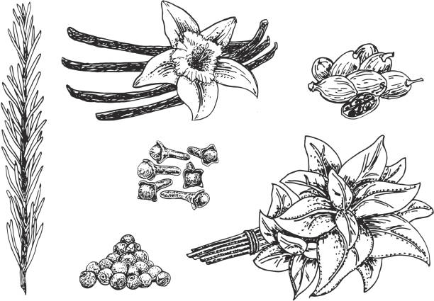 Vector ink hand drawn culinary herbs and spices set vector art illustration