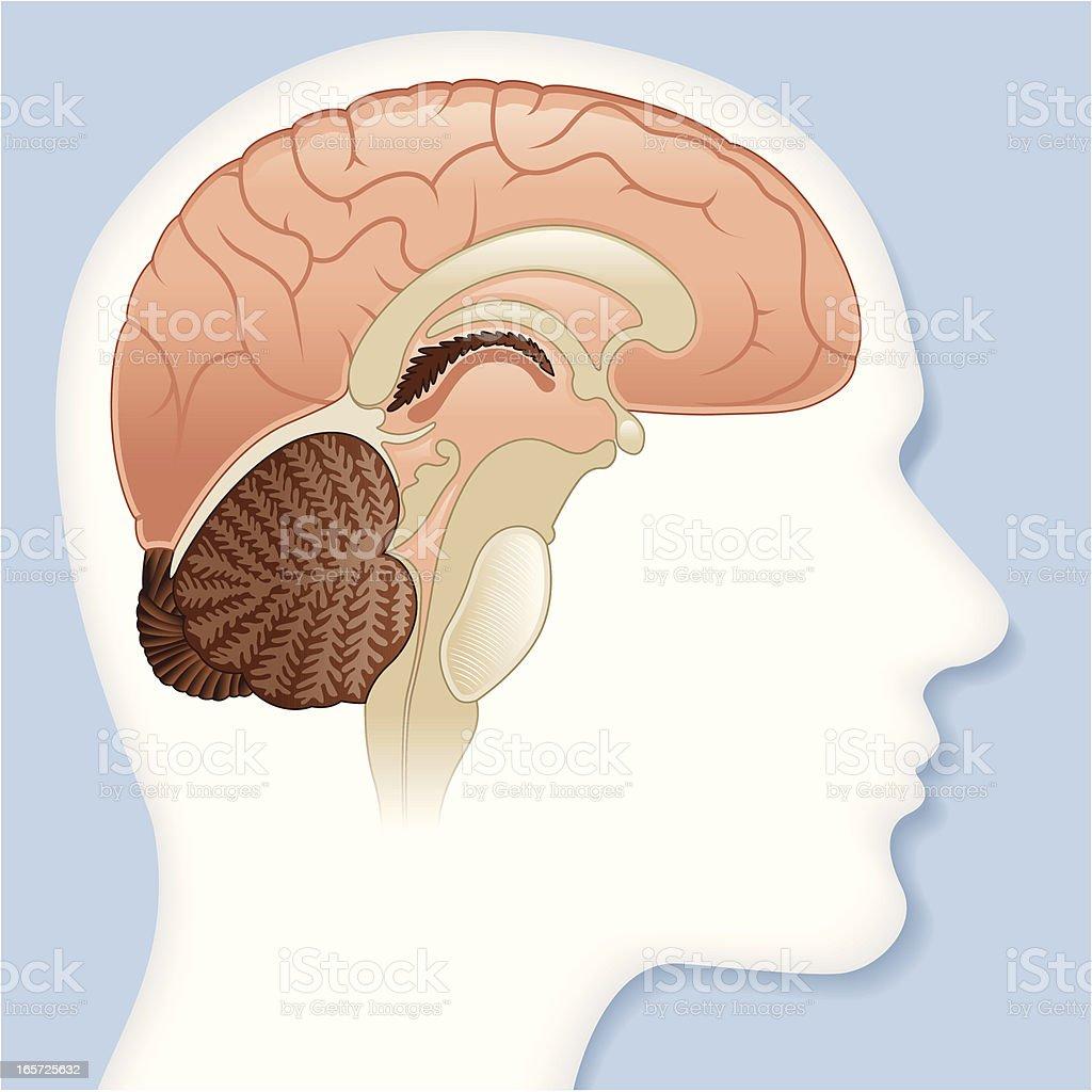Vector, inside the brain vector art illustration