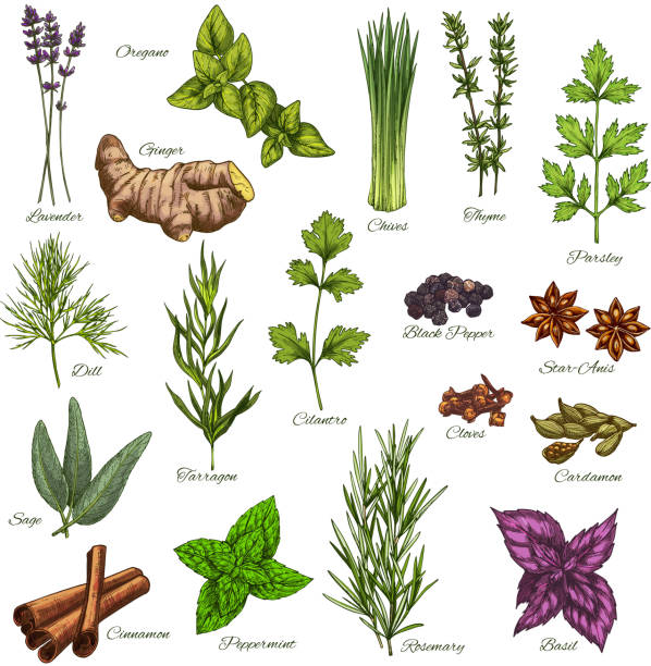 Vector isolated icons of natural spices and herbs Spices and herbs vector isolated icons set of lavender, oregano or ginger root and thyme or chives, organic seasonings of parsley, dill or black pepper and sage or cinnamon and farm peppermint basil stock illustrations