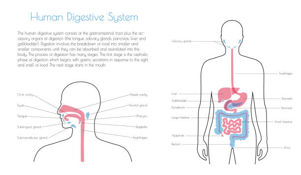 illustrazioni stock, clip art, cartoni animati e icone di tendenza di vector isolated illustration of digestive system - bocca umana