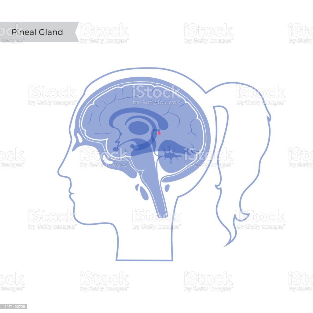Vector Isolated Illustration Of Pineal Gland Stock