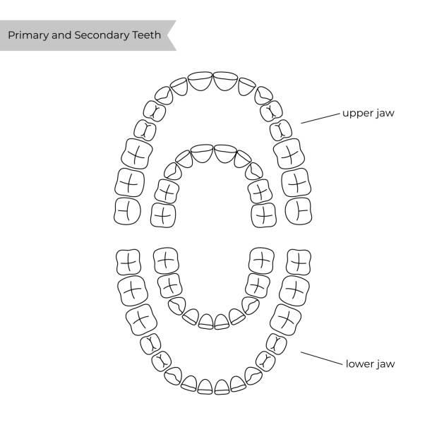 bildbanksillustrationer, clip art samt tecknat material och ikoner med vektor isolerad illustration av tand - molar