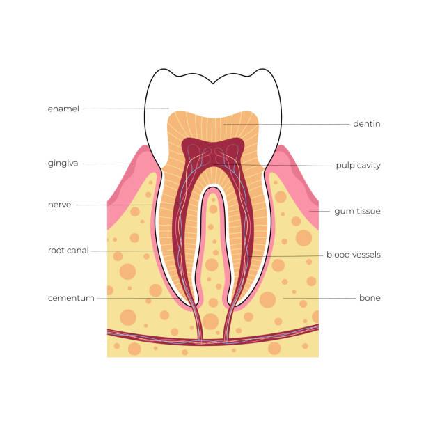 stockillustraties, clipart, cartoons en iconen met vector geïsoleerde illustratie van tand - dentine