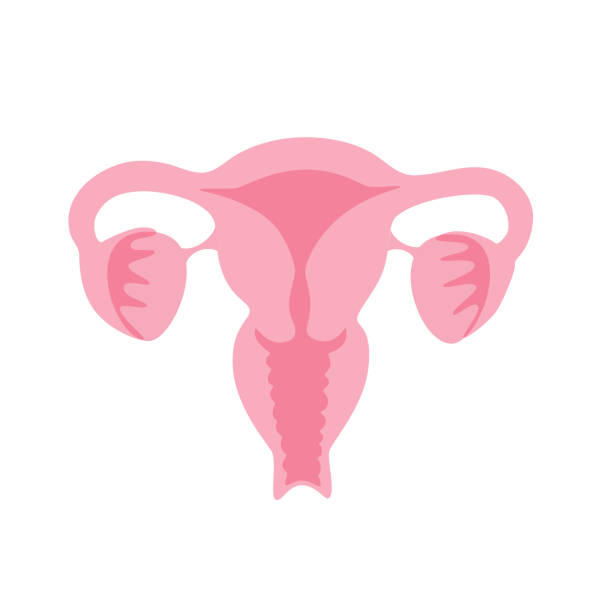 Vector isolated illustration of uterus Vector isolated illustration of female reproductive system anatomy. Uterus, cervix, ovary, fallopian tube icon. Woman medical center, hospital, clinic, diagnostic logo. Internal organ symbol design. uterus stock illustrations