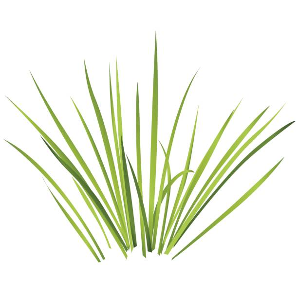 Vector isolated reed. Water plants in different variants, white background. Vector isolated reed. Water plants in different variant, isolated on white background. Isometric clumps of reeds growing on edge of pool and pond. Individual rushes flower bamboo reed with green leafs pond stock illustrations