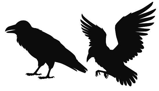 Vector isolated silhouettes of a sitting and flying ravens, crows, birds