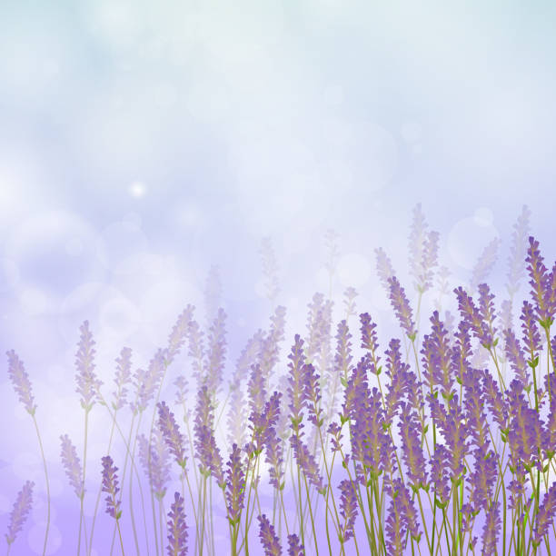Vector Lavender Background vector art illustration