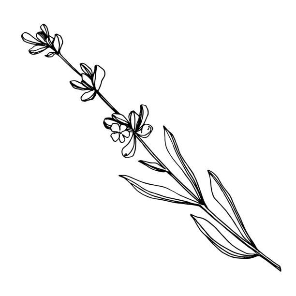 bildbanksillustrationer, clip art samt tecknat material och ikoner med vektor lavendel blommiga botaniska blommor. svart och vit graverad bläck konst. isolerad lavendel illustration element. - lavender engraving