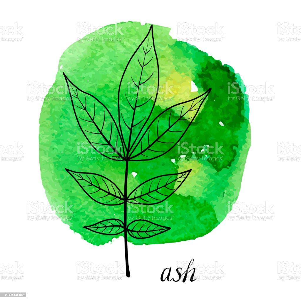 vector leaf of ash tree