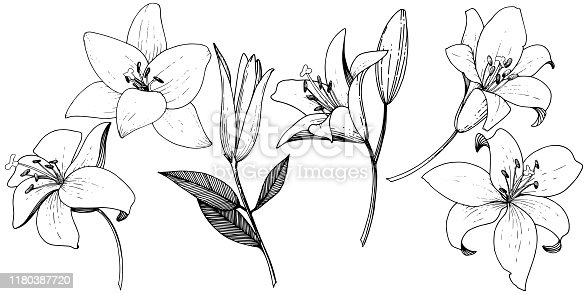 Vector Lily floral botanical flower. Wild spring leaf wildflower isolated. Black and white engraved ink art. Isolated lilies illustration element on white background.