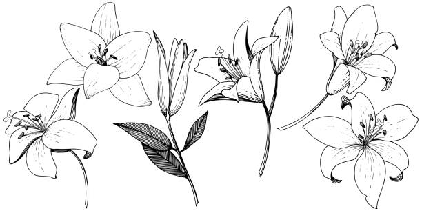 Vector Lily floral botanical flower. Black and white engraved ink art. Isolated lilies illustration element. Vector Lily floral botanical flower. Wild spring leaf wildflower isolated. Black and white engraved ink art. Isolated lilies illustration element on white background. close up stock illustrations