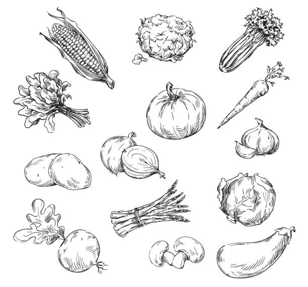 Vector line drawing of various vegetables Vector line drawing of various vegetables corn crop stock illustrations