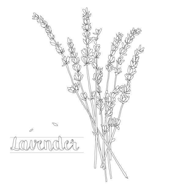illustrazioni stock, clip art, cartoni animati e icone di tendenza di illustrazione vettoriale di un bouquet di lavanda su sfondo bianco - colore lavanda