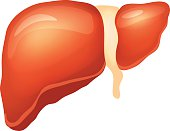Vector liver illustration