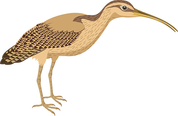 vector long billed curlew - 도요과 stock illustrations